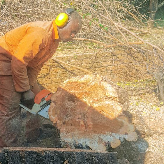 Tre Felling of large and older fruit trees