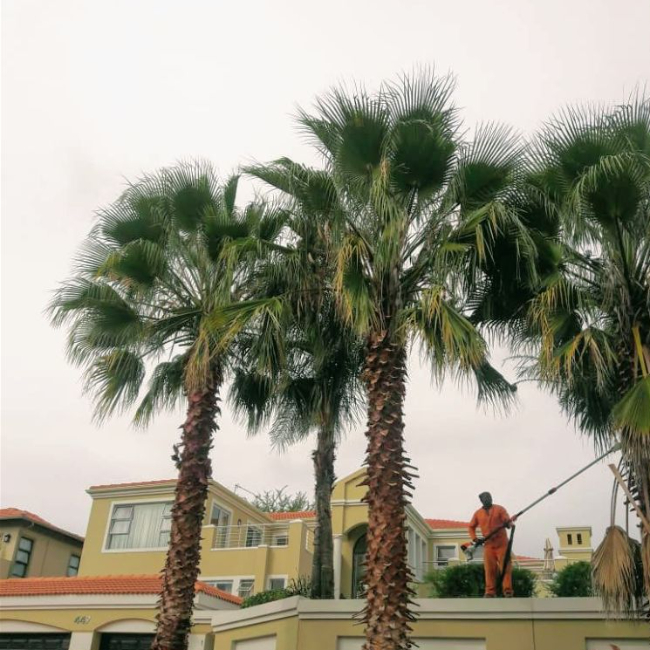 Tree Felling and palm tree trimming and pruning