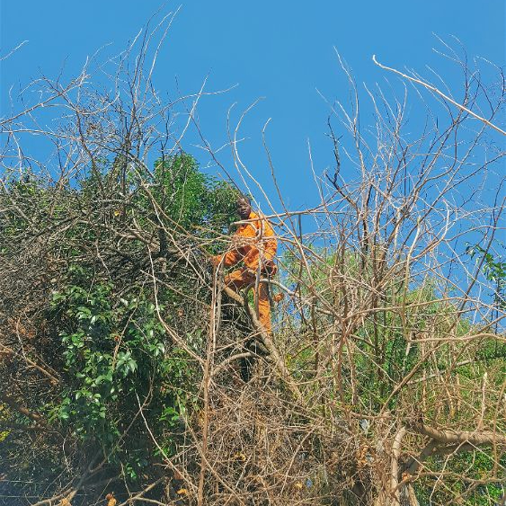 Mulberry Trees often need Tree Felling by professional Tree Fellers in Emmarentia