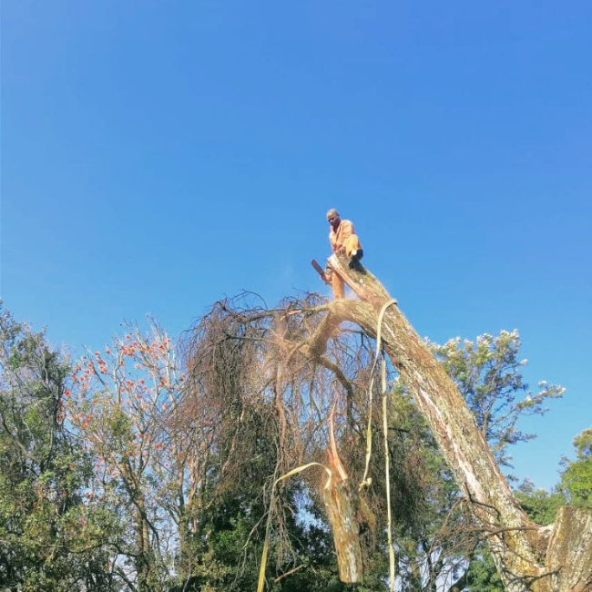 Tree felling for big trees and tree removal