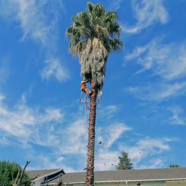 Tree felling in Linden Palm Tree trim