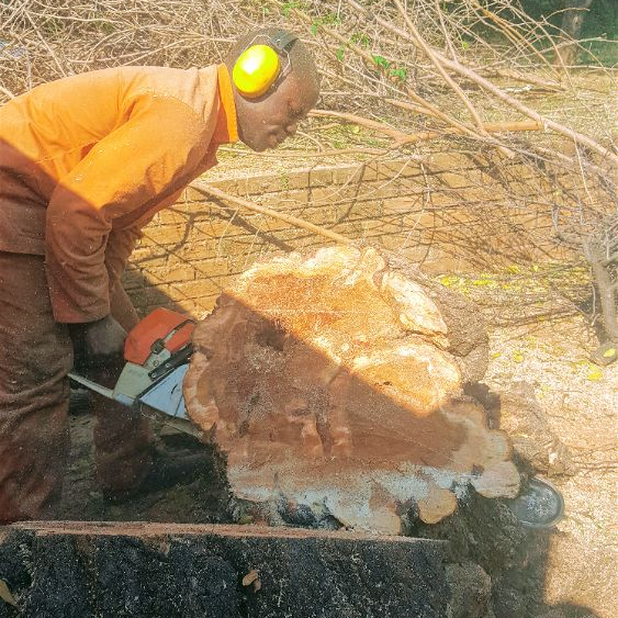 Tree felling for large tree removal