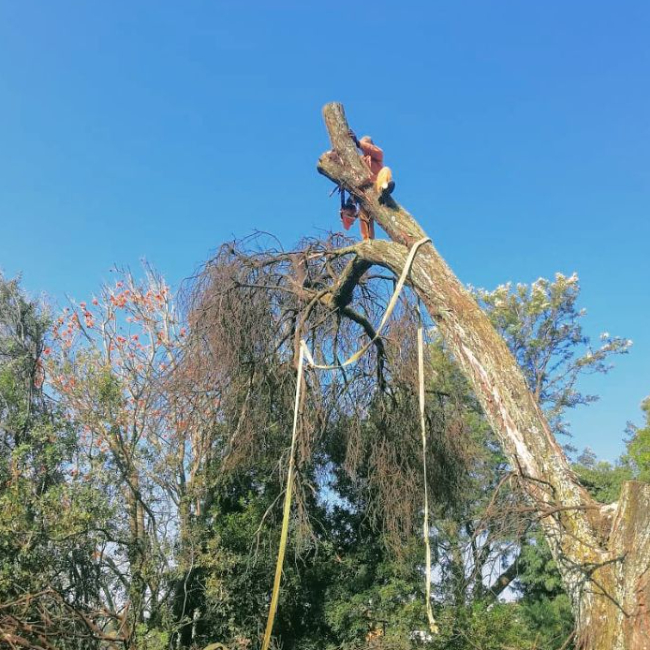 Tree felling in Randburg North